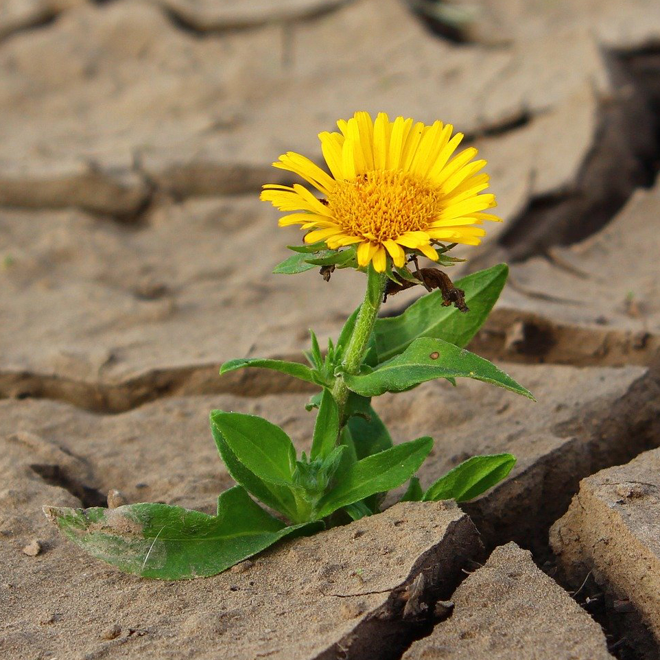 Resilient Flower Growing in Harsh Environment of Cracked Dry Ground